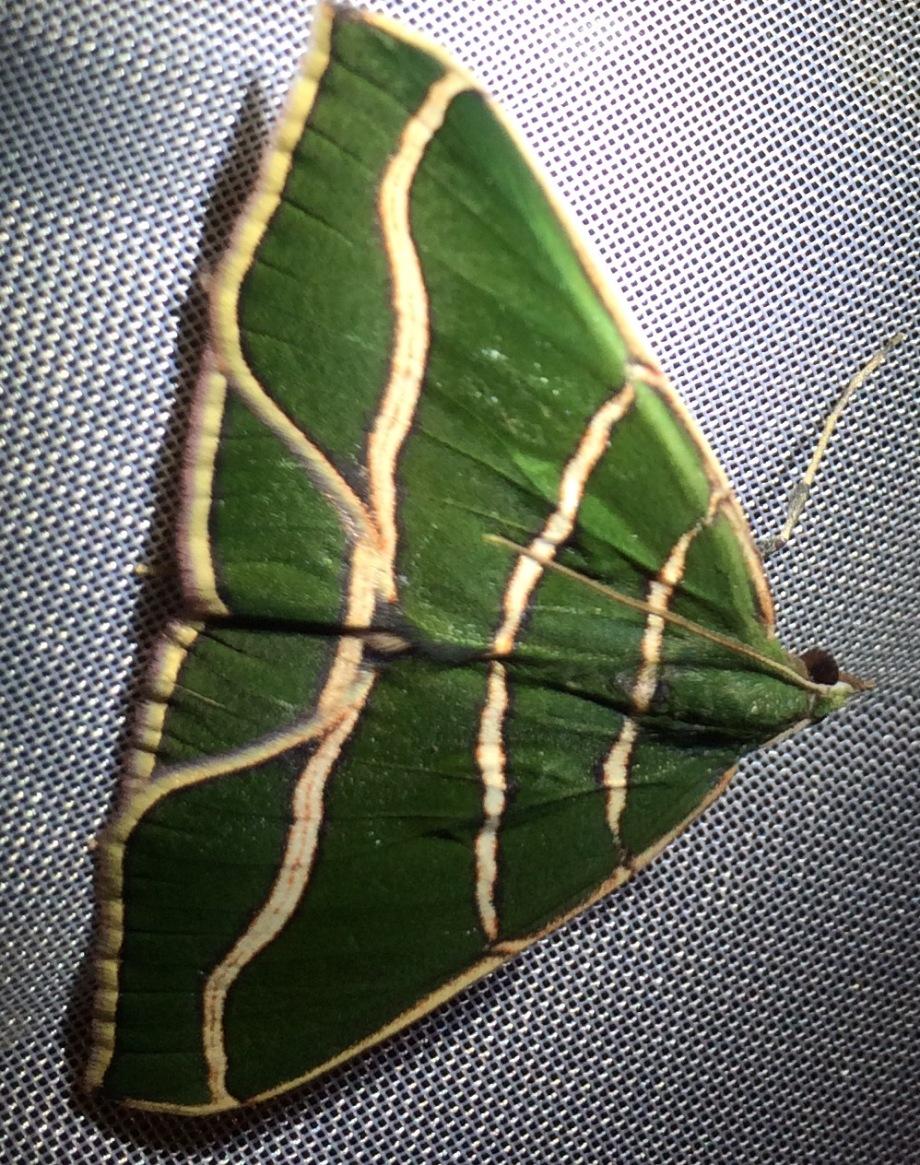 moth-green